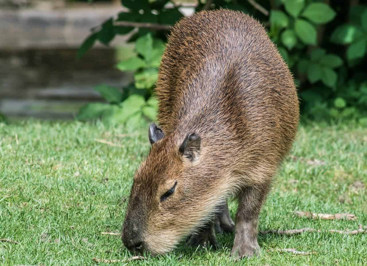 Capybara can be spotted when visiting Iguazu Falls