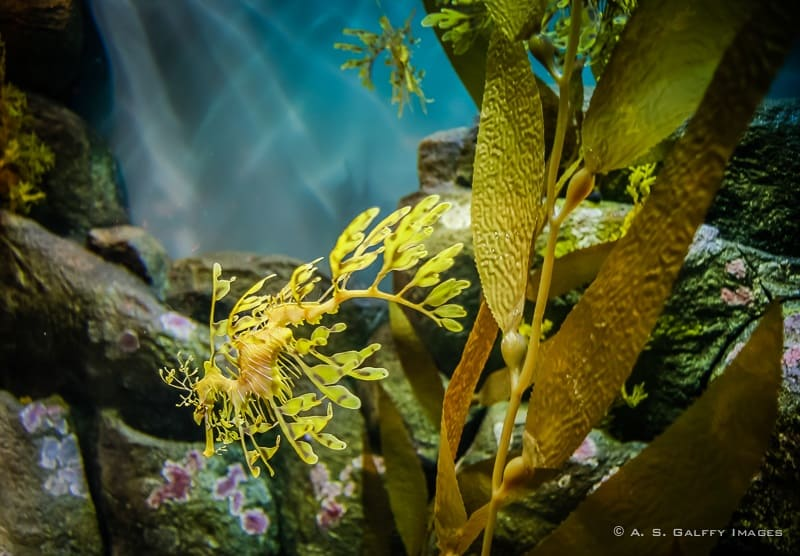 view of a Sea dragon at the Monterey Aquarium