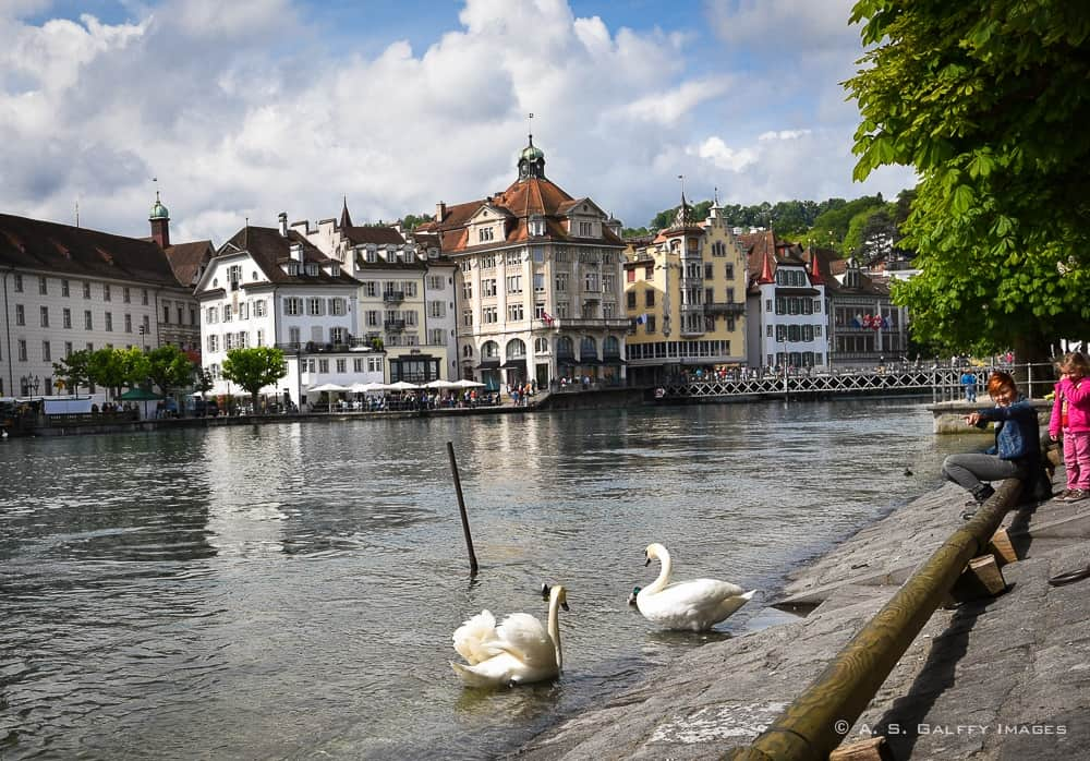 swans on the Reuss River in Lucerne