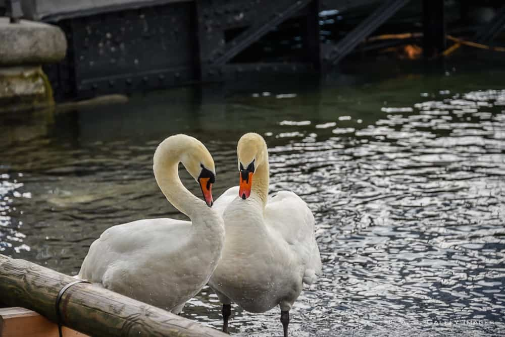 the swans of Lucerne