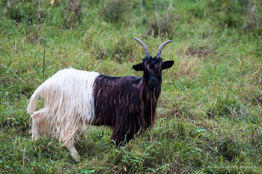 Blackneck goat, one of the attractions in Zermatt