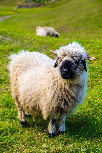 Blacknose sheep, one of the attractions in Zermatt