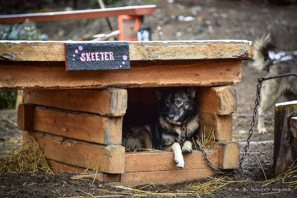 Iditarod sled dog in his cage