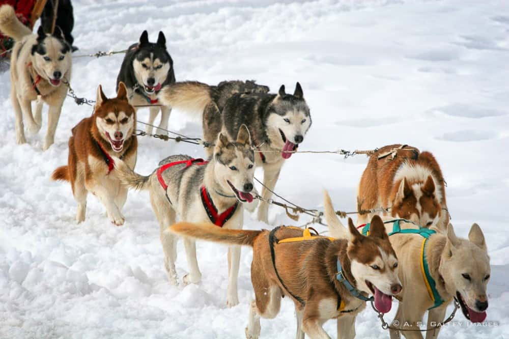 Sled Dogs, Mushers and the Iditarod Race