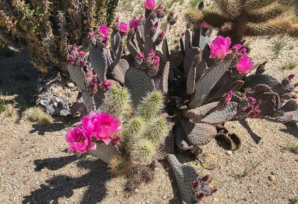 image of the California desert super bloom with Beavertail Cactus flower