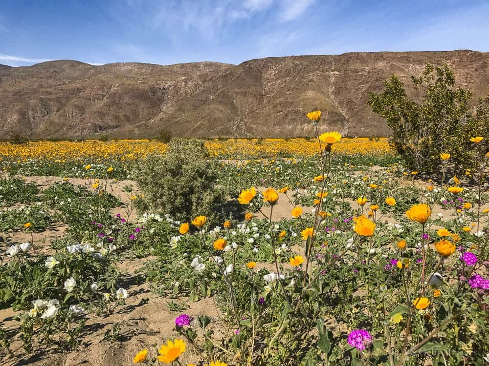 California Desert Super Bloom: Where and When to See It