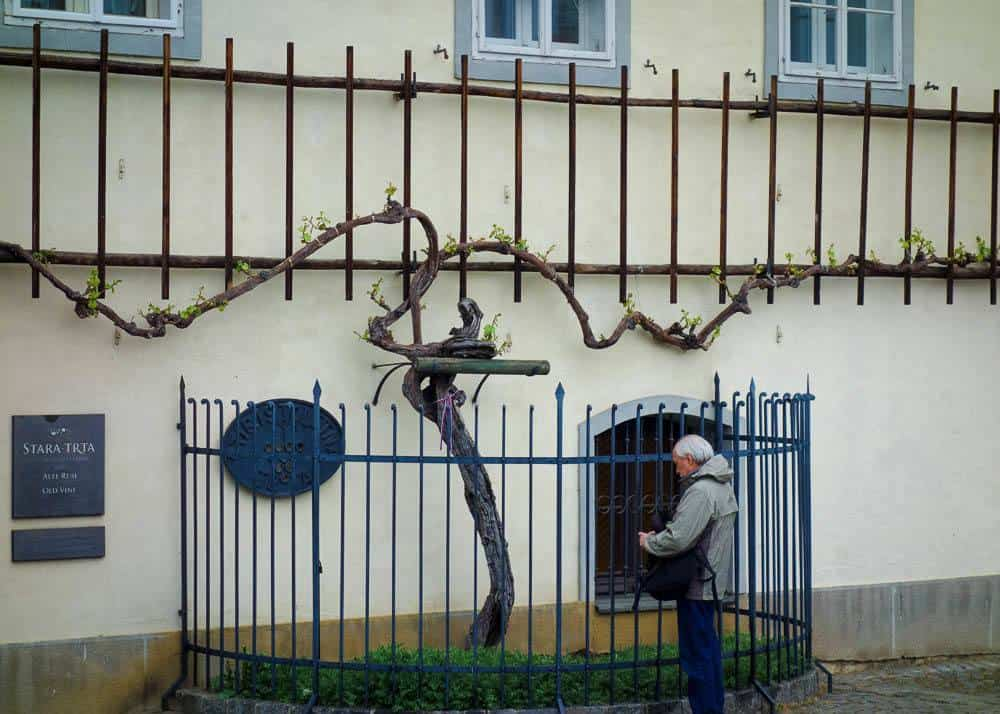 Image depicting the Old Vine in Maribor growing in front of the Old Vine House