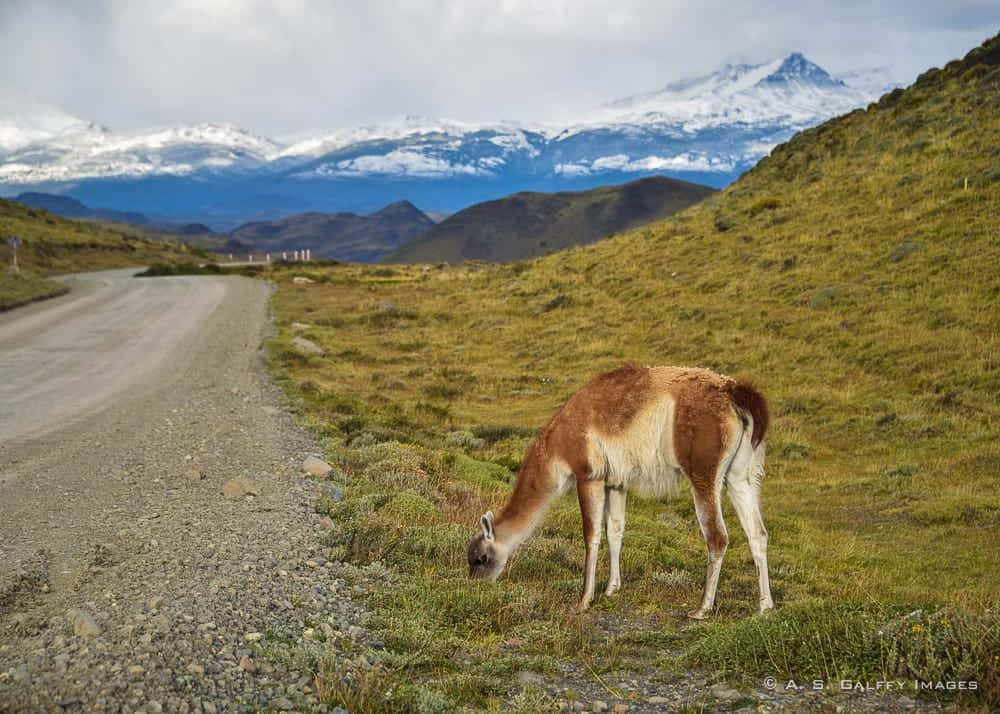 Guanaco grazing close to the road in Torres del Paine