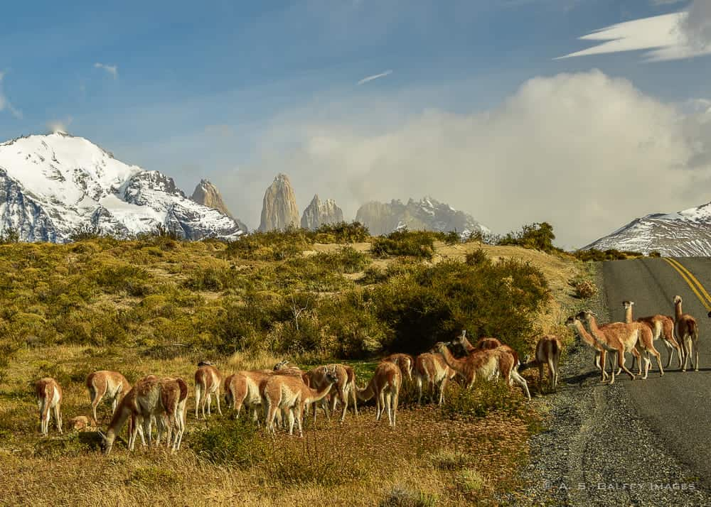 Hiking in Patagonia, view of guanacos grazing