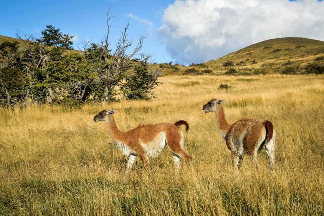 Guanacos on Fauna Tail