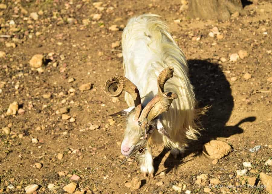 Capra Girgentana, an old goat breed in Agrigento