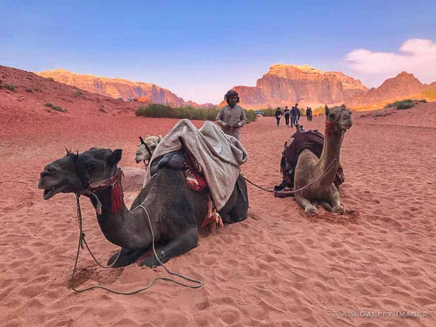 Bedouin with his camels in the Wadi Rum desert
